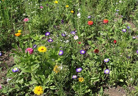 Die Bienenweide in voller Blüte im August