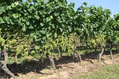 Entblätterte Traubenzone in einem Weißwein-Wingert