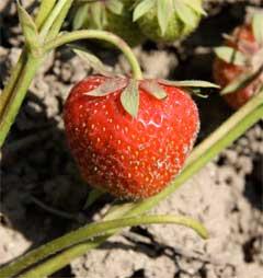 Die erste reife Erdbeere