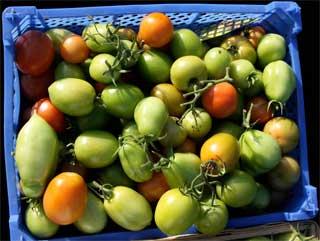 """Winter-Tomaten"", geerntet Anfang Oktober"