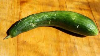 Typische, krumme Salat-Gurke aus dem Garten