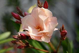 Apricotfarbene Oleanderblüte