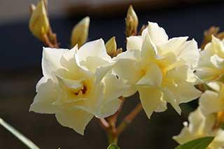 Blaßgelber, gefüllter Oleander