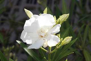 Weiße Oleanderblüte