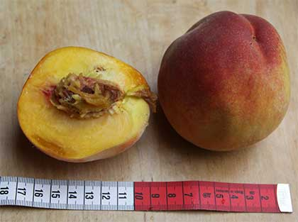 """Die große Frucht des Pfirsichs """"Fairhaven"""""""