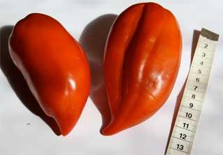 "Tomatensorte ""Andenhorn"""