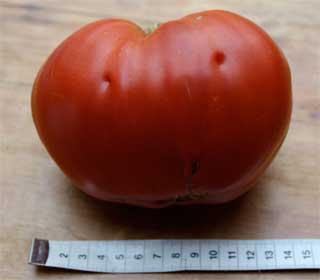 """Tomatensorte """"Ochsenherz"""""""