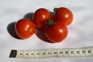 "Tomatensorte ""Prinz Borghese"""