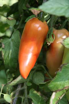 "Reifende Tomate ""Andenhorn"""
