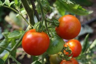 "Runde Tomatensorte ""Harzfeuer"""