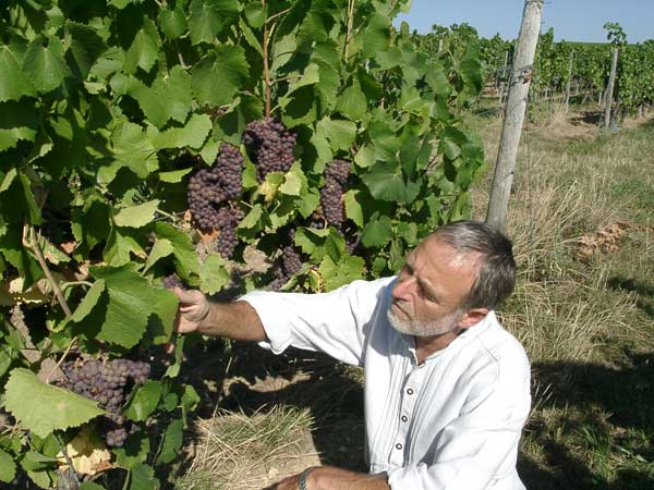 Hans-Jakob Fuchs checks the ripeness of Pinot Gris grapes