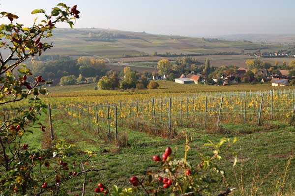 Junger Riesling-Weinberg