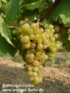 Ripe grape of Huxel