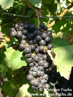 New red grape variety