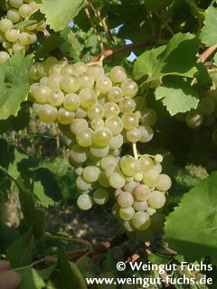Scheu's grape white wine