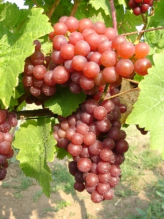 Very ripe, sweet grape of the variety Sieger