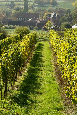 Vineyard of the Fuchs Wine Estate, Germany